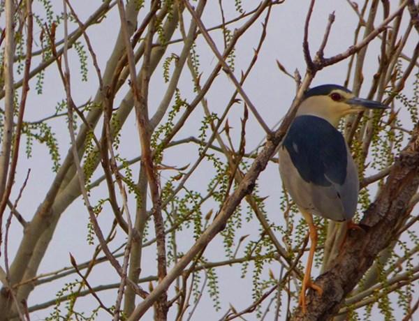 Ornitología-birding-observación-de-aves-en-Tablas-de-Daimiel-y-Lagunas
