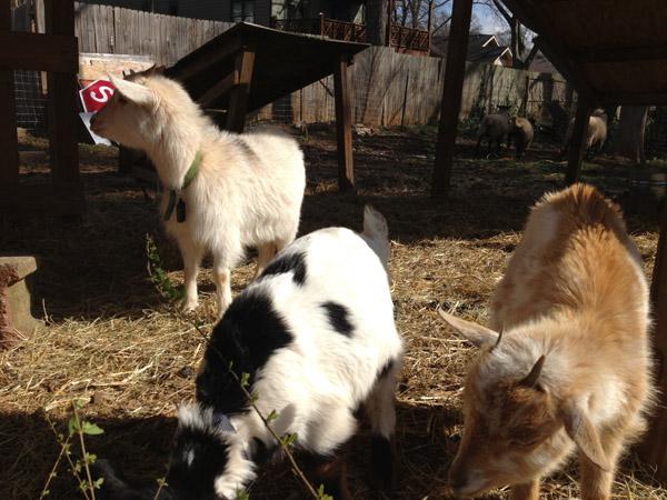 Goats at East Lake