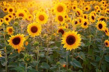 Sonnenblumen Sonne Vitamin D