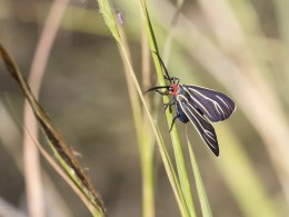Veined Ctenucha