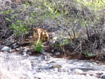 Mountain Lion aka Puma, Cougar