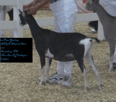 1st place yearling