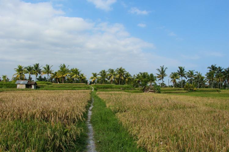 campos-arroz-bali