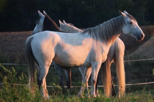 Les chevaux dans le soleil du matin