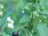 black-nightshade