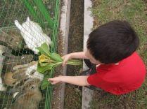 Feeding the many rabbits...