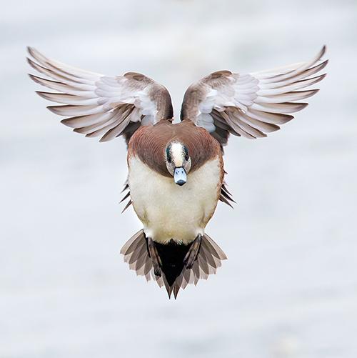 homepage-wigeon