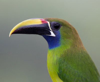 Northern Emerald-Toucanet - Costa Rica