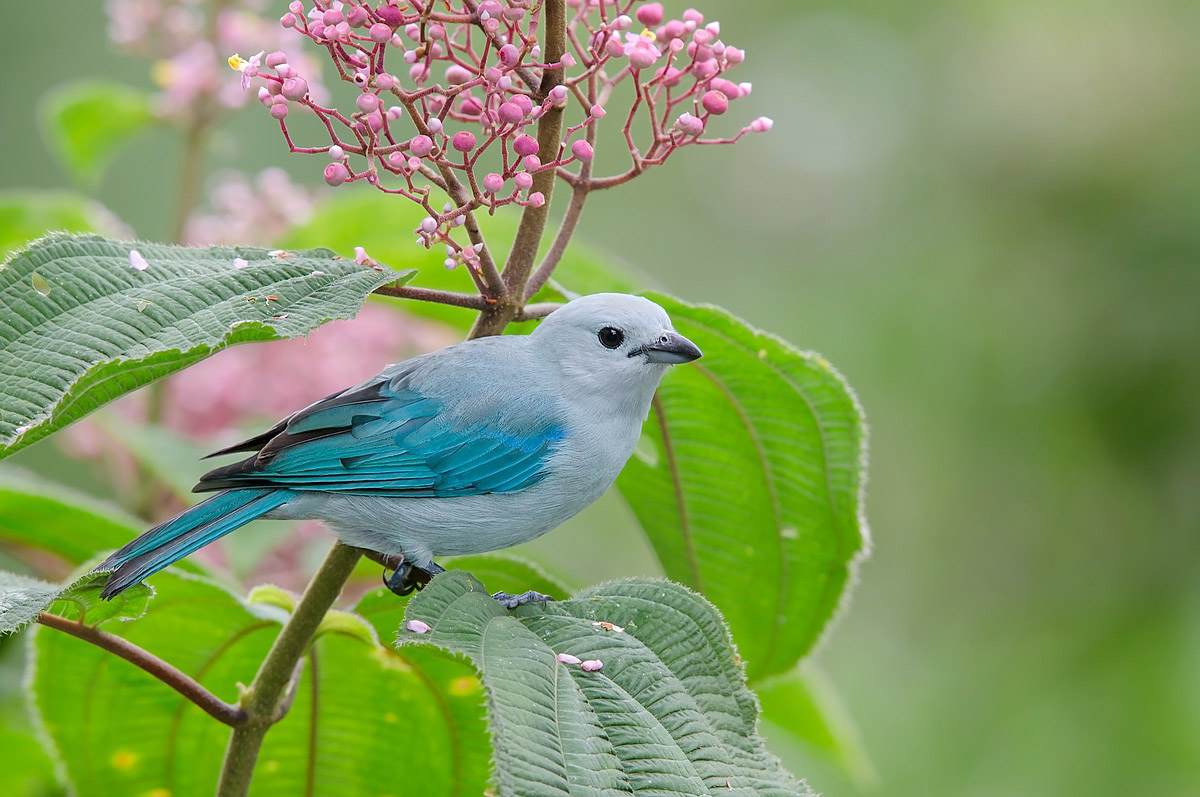 Blue-gray Tanager - Costa Rica