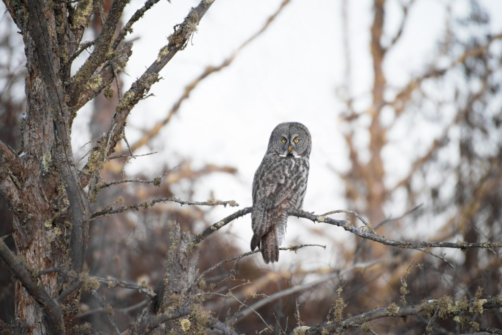 Great Gray Owl - Minnesota