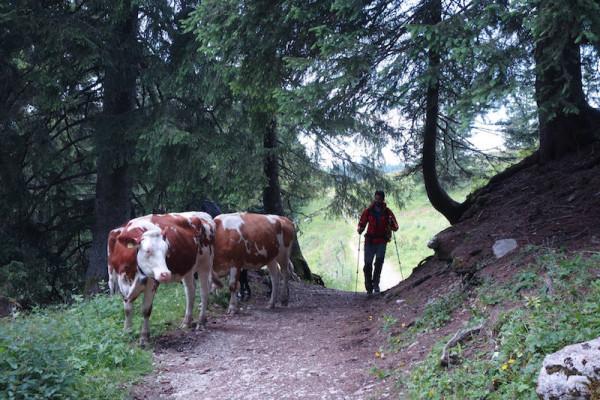 Kühe am Weg