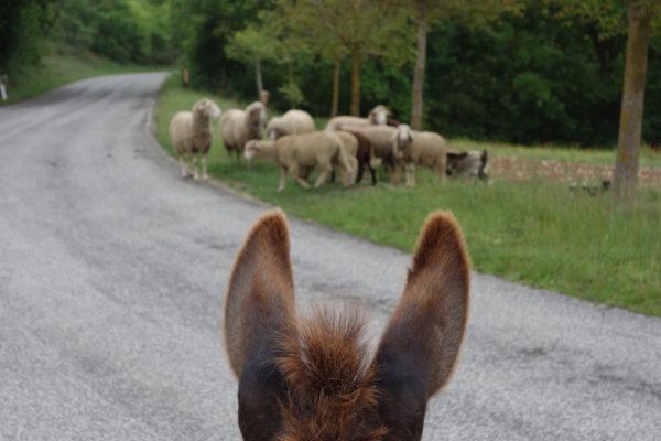 Geissen und Schafe
