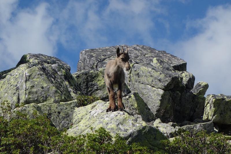 Junger Steinbock auf dem Niederhorn