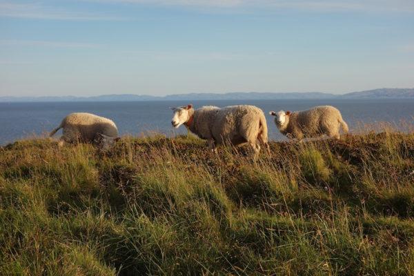 Schafe Ekkerøy
