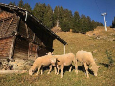 Schafe Oeschinensee