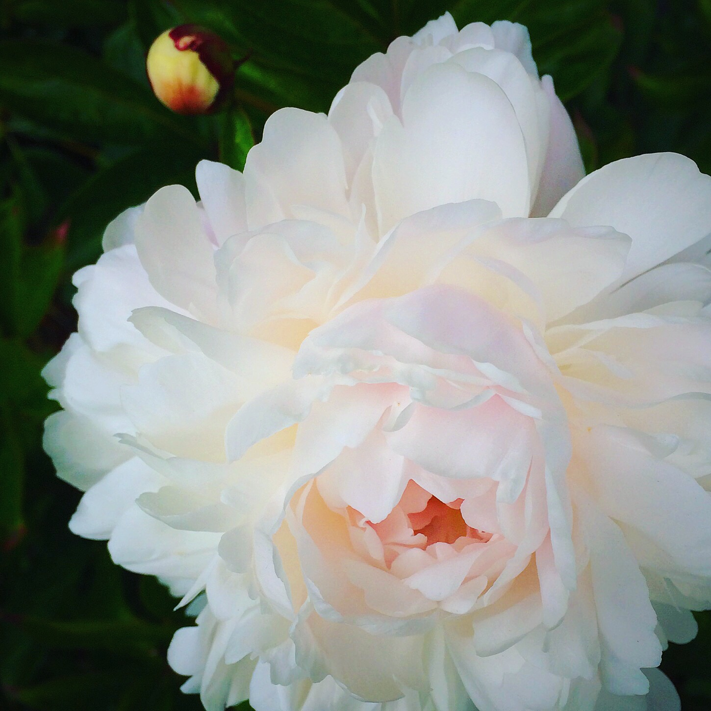 Peony from my Kitchen Garden