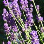 Lavendar from my kitchen garden