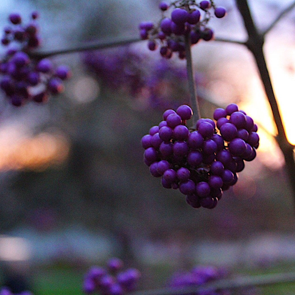 Tree berries in shape of heart