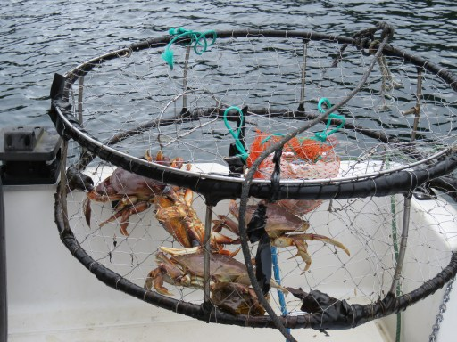Dungeness Crabbing Off Vancouver Island