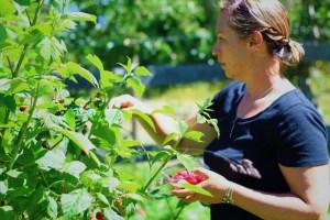 Raspberries at the Green Family Farm