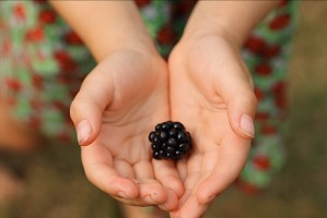 Little Hands Helping Pick Blackberries
