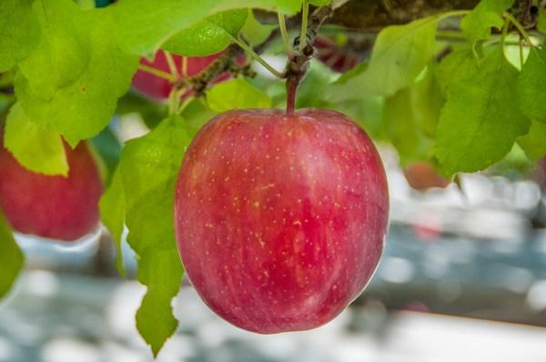 Washington Organic Apples