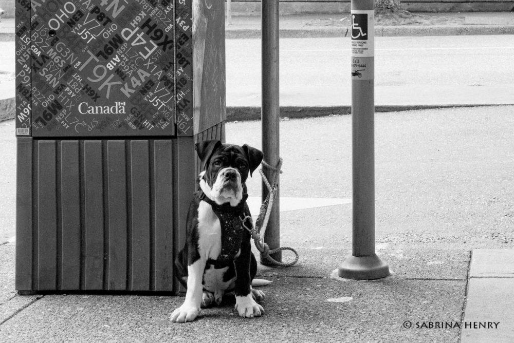pierre - urban dog vancouver 2019