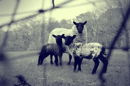 sheep in monochrome