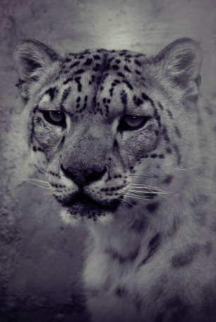 snow-leopard-at-the-zoo