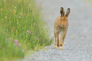 "1st Projected Open & Overall Winner: ""Irish Hare & Morning Dew"", Michael Murphy, Cork Camera Group"