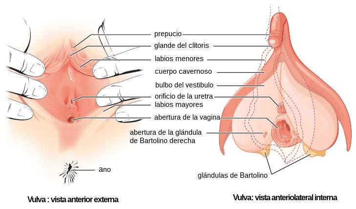 vagina clitoris