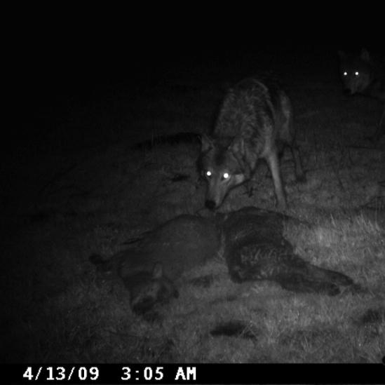 wolf depredation public domain image-OR DFW
