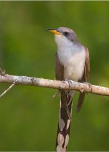 Western Yellow billed cuckoo