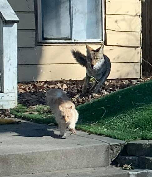 Coyote chases cat in Sacramento