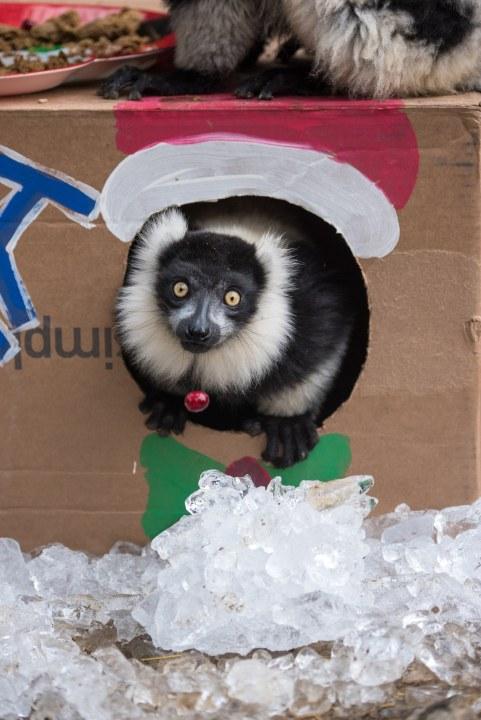 Black and White Ruffed Lemur Exploring Boxed Enrichment. Photo by Tonja Candelaria