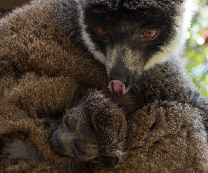 Mongoose Lemur Mom and Infant - Photo by Tonja Candelaria
