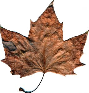 Withered Leaf