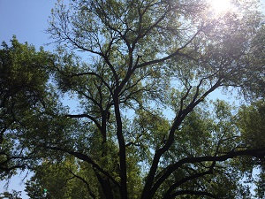 picture of Arizona Ash canopy