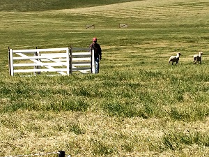 Picture of sheepdog trial pen