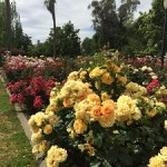 Sacramento's Rose Gardens – State Capitol Park World Peace Rose Garden
