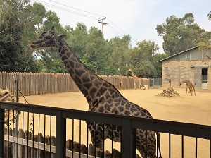 Picture of Sacramento Zoo Giraffes