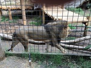 Picture of Sacramento Zoo Lion