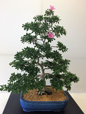 Picture of Bonsai at the Shepard Garden and Arts Center