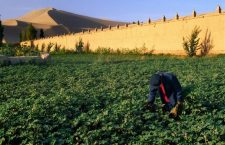 Irrigated Cotton, China  Photograph by Keren Su, Getty Images