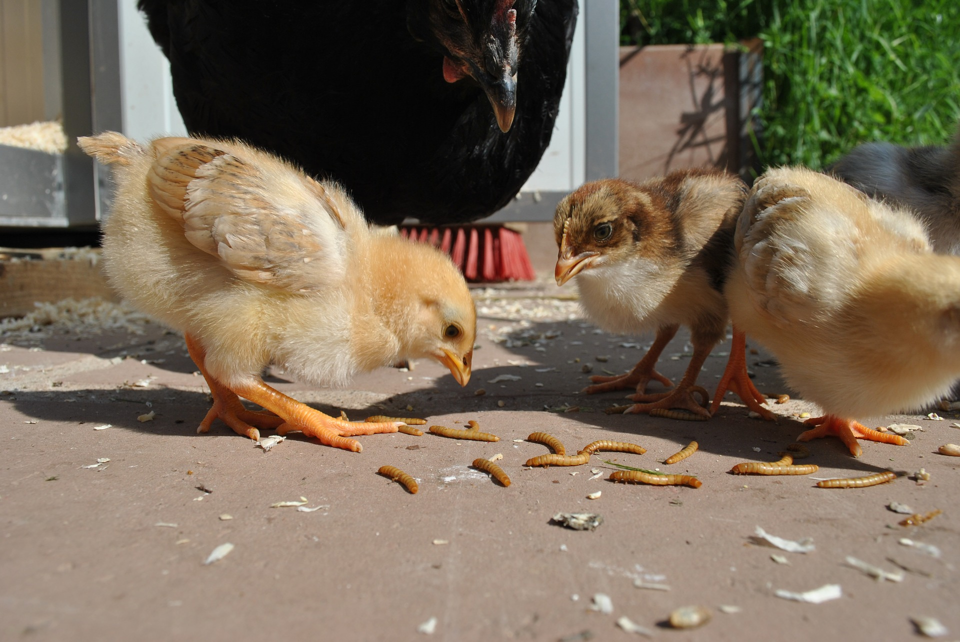 Raising Mealworms for the Birds