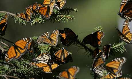 monarch butterflies in Mexico forest