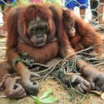 Orangutans and deforestation