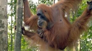 Borneo and Sumatra biodiversity threatened