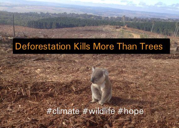 koala conservation and deforestation