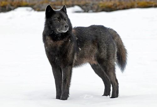 Tongass wolf conservation Alaska